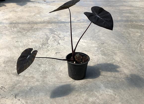 Colocasia Black Ripple