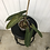 Thumbnail: Philodendron Atabapoense #2093