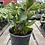 Thumbnail: Peperomia Obtusifolia Green