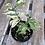 Thumbnail: Ficus Benjamina Starlight