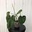 Thumbnail: Philodendron Sodiroi Aff #2081