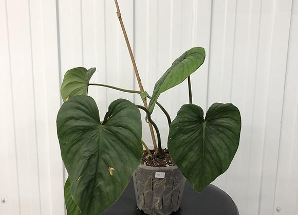 Philodendron Sodiroi Aff #2081