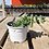 Thumbnail: Pickle Plant