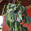 Thumbnail: Philodendron Brasil