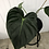 Thumbnail: Philodendron Pastazanum #2038