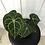Thumbnail: Anthurium Clarinervium #2020