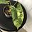 Thumbnail: Philodendron Burle Marx Variegata #2105