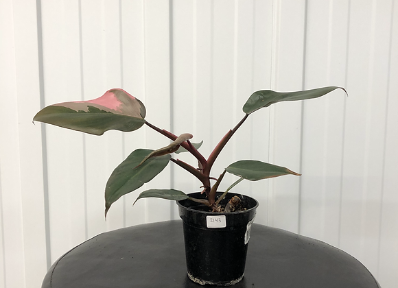 Philodendron Pink Princess #2143