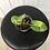 Thumbnail: Philodendron Burle Marx Variegata #2104