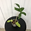 Thumbnail: Philodendron Florida Ghost #2200