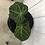 Thumbnail: Anthurium Magnificum #2055