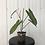 Thumbnail: Philodendron Atabapoense #2151