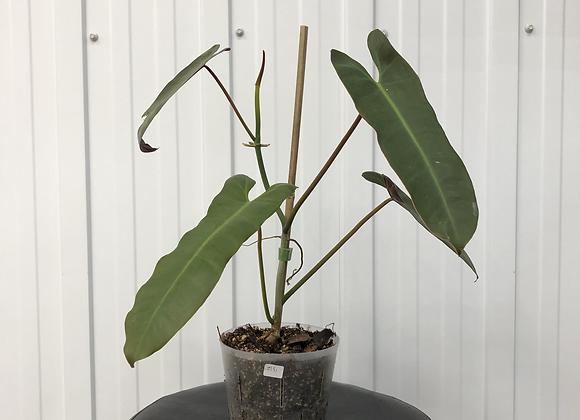 Philodendron Atabapoense #2151