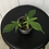 Thumbnail: Philodendron Florida Ghost #2115