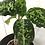 Thumbnail: Aglaonema Pictum Tricolor #2088