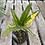 Thumbnail: Banana Croton
