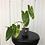 Thumbnail: Philodendron Burle Marx Variegata #2101