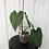 Thumbnail: Philodendron Sodiroi Aff #2082