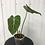 Thumbnail: Philodendron Gloriosum #2016