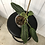 Thumbnail: Philodendron Subhastatum Variegata #2035