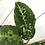 Thumbnail: Aglaonema Pictum Tricolor #2126