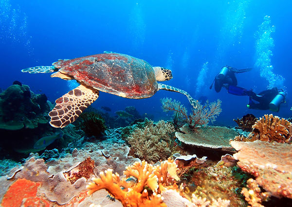 Snorkeling and SCUBA diving with turtles in the Caribbean waters of Cozumel, Mexico will be enjoyed by attendees of the FDM Academy Advanced Caribbean Cruise, learning Fascial Distortion Model manual therapy while at sea.