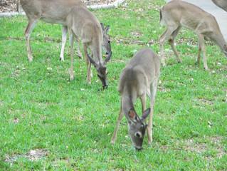 Deer droppings