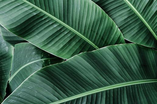 Tropical banana leaves texture,Dark gree