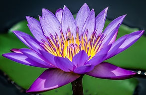 purple-lotus.jpg