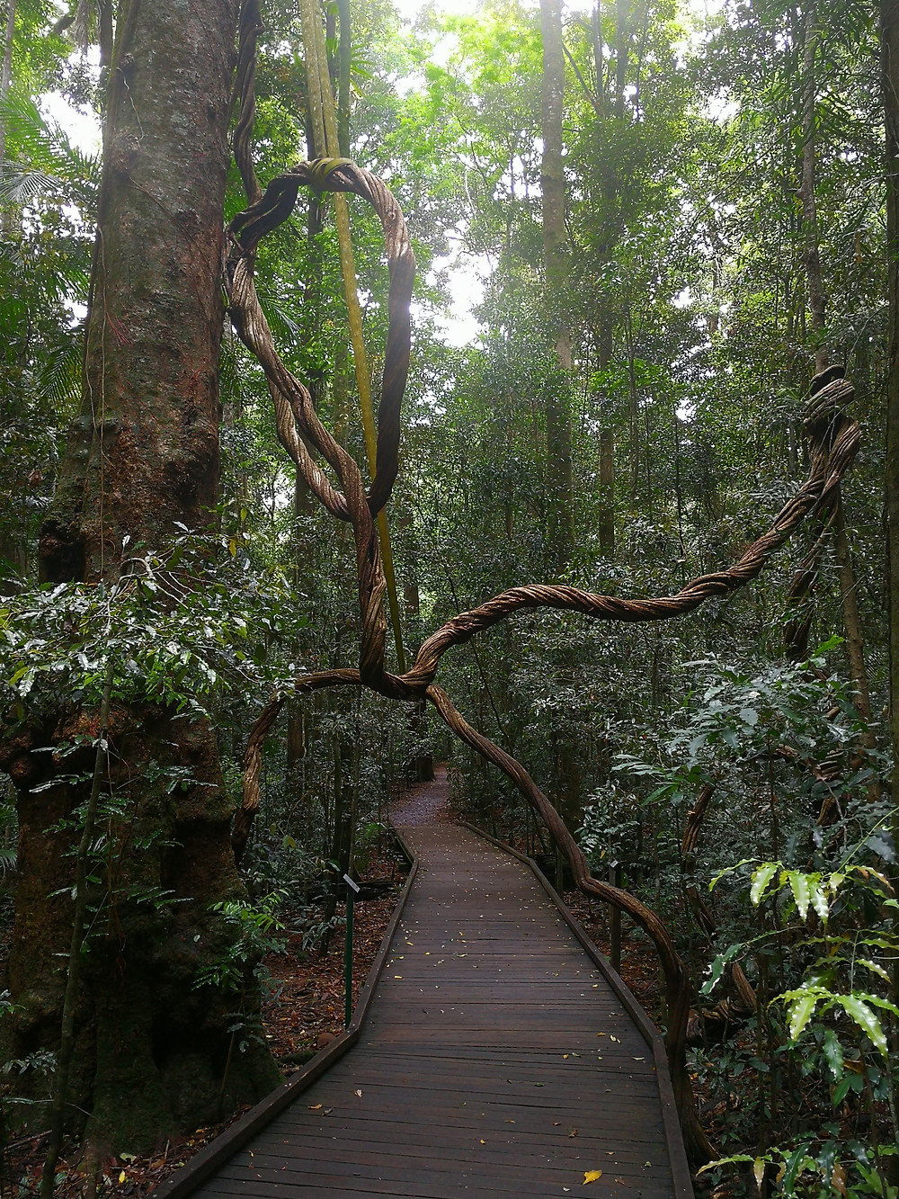 Twisted vines in the rainforest