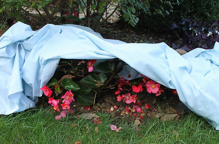 Covering_Plants_for_Frost_Protection-108