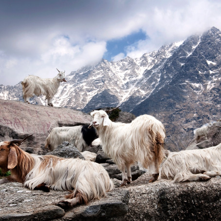 Is pashmina goat killed for its wool?