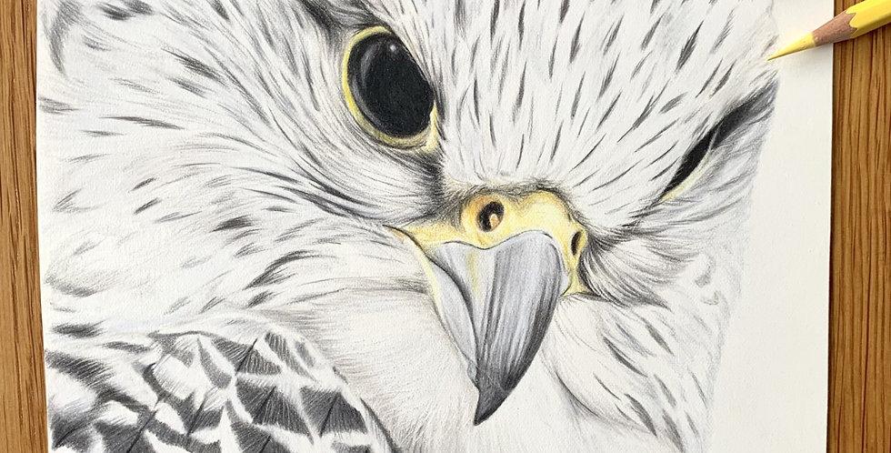 Gyr Falcon Study