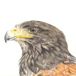 Harris Hawk Study £180