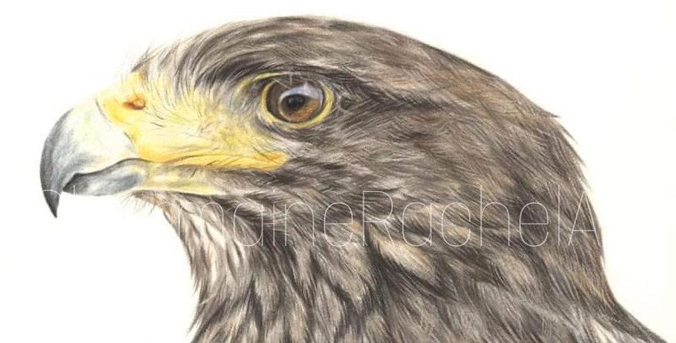 Harris Hawk Study