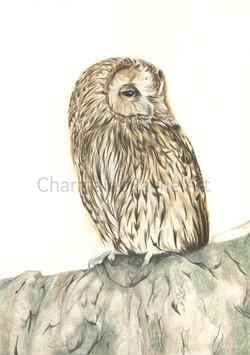 Tawny Owl £200