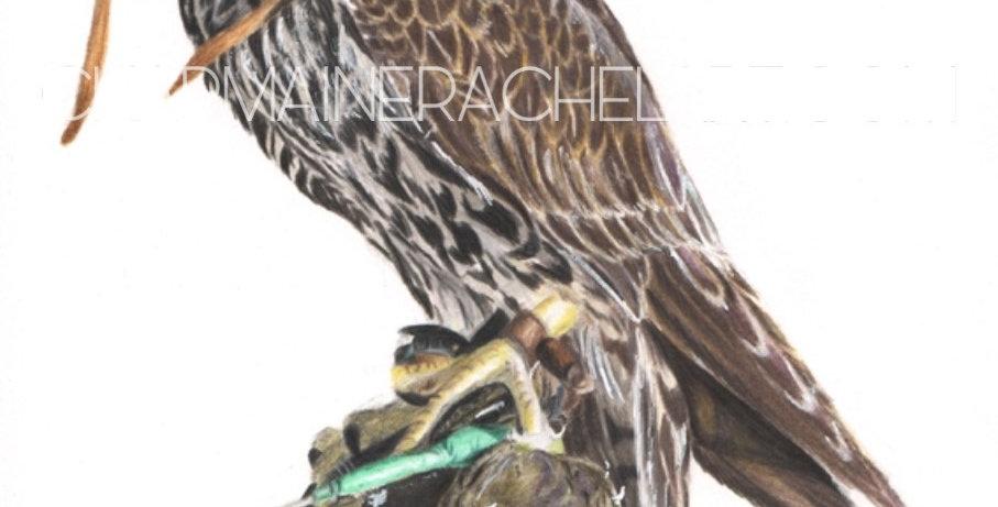 Tiercel Falcon Study