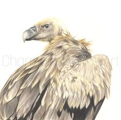 Juvenile Cape Griffon £300