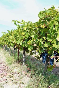 vigne quartier piolas