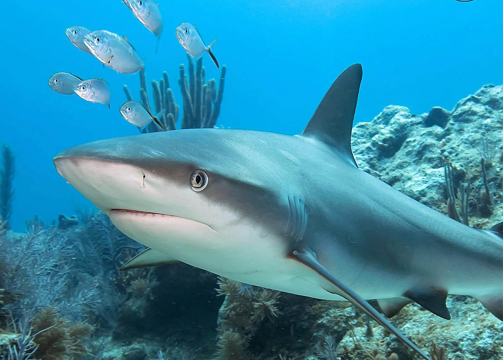 Lemon shark roaming around in Belize at Shark Ray alley.