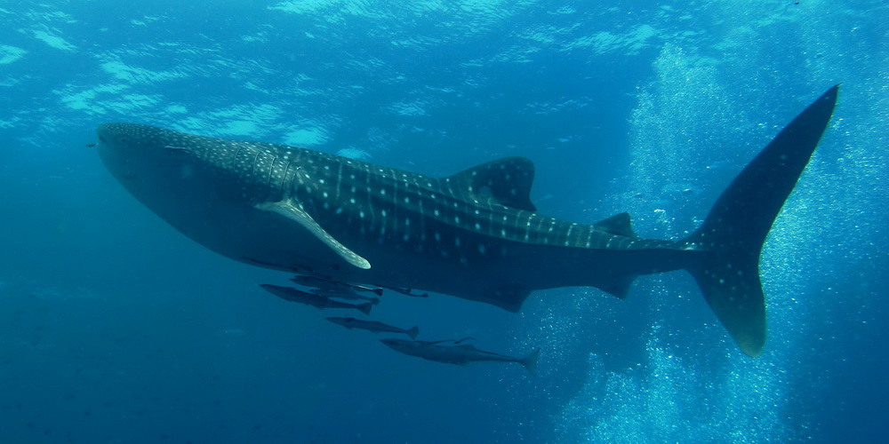 beautiful whale shark in the carribean