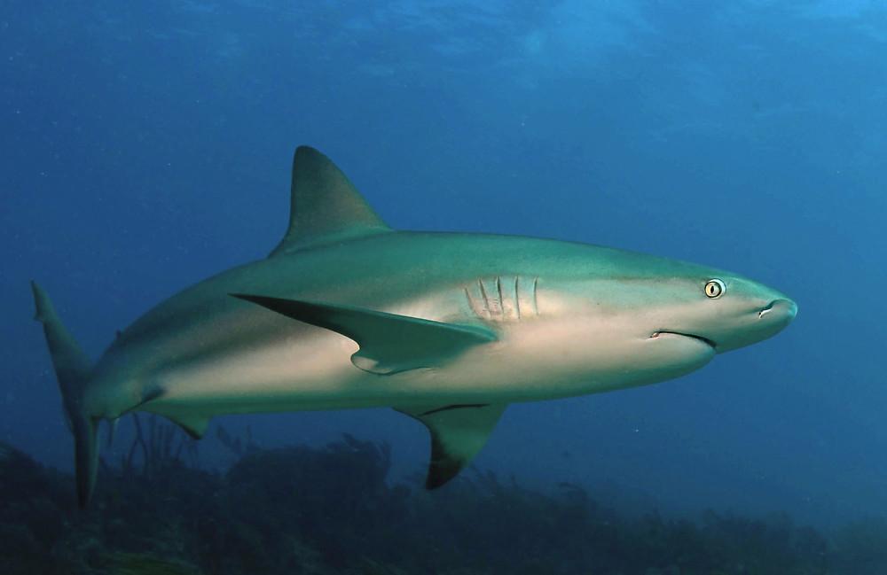 Reef shark in the caribbean ocean