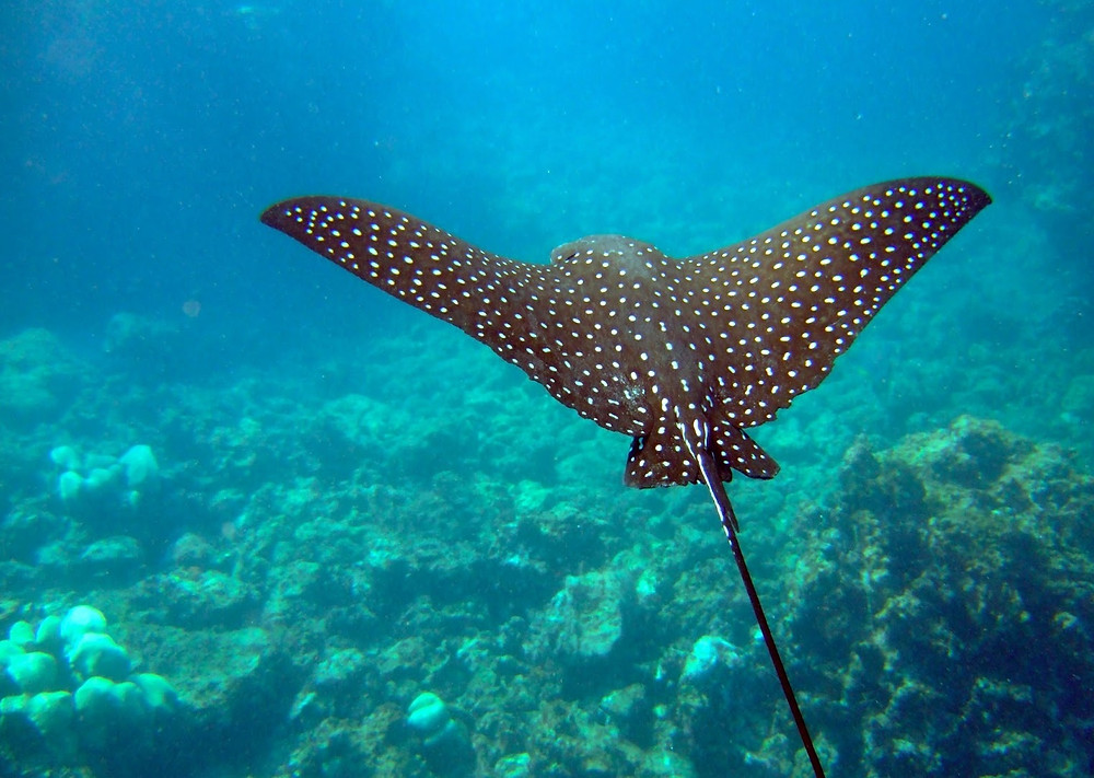 Spotted eagle ray soaring through the water here in Shark Ray alley in Belize