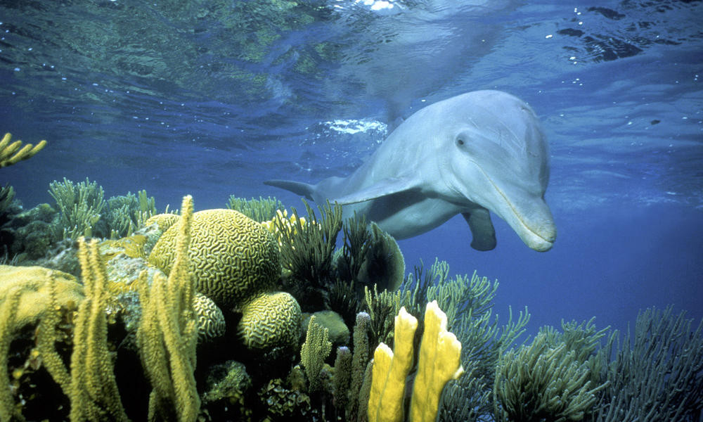 A dolphins swimming by the reef in Belize
