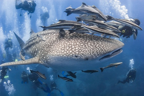 A group of scuba divers are closely following a whale shark and its beauty in San Pedro, Belize