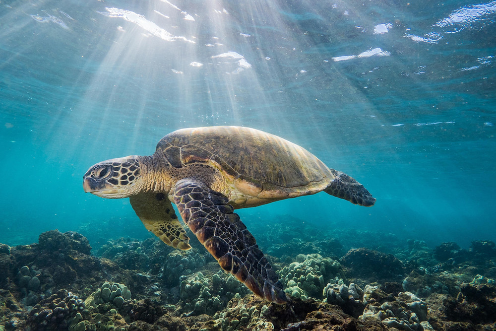 sea turtle swimming in a ray of sunshine