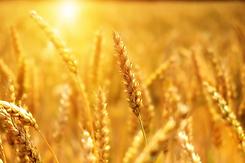 wheat-3506758_960_720.webp