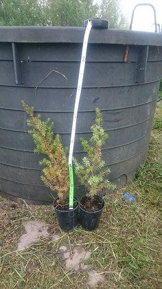 Coppia di Piante di Ginepro comune(Juniperus communis) Femmina e Maschio