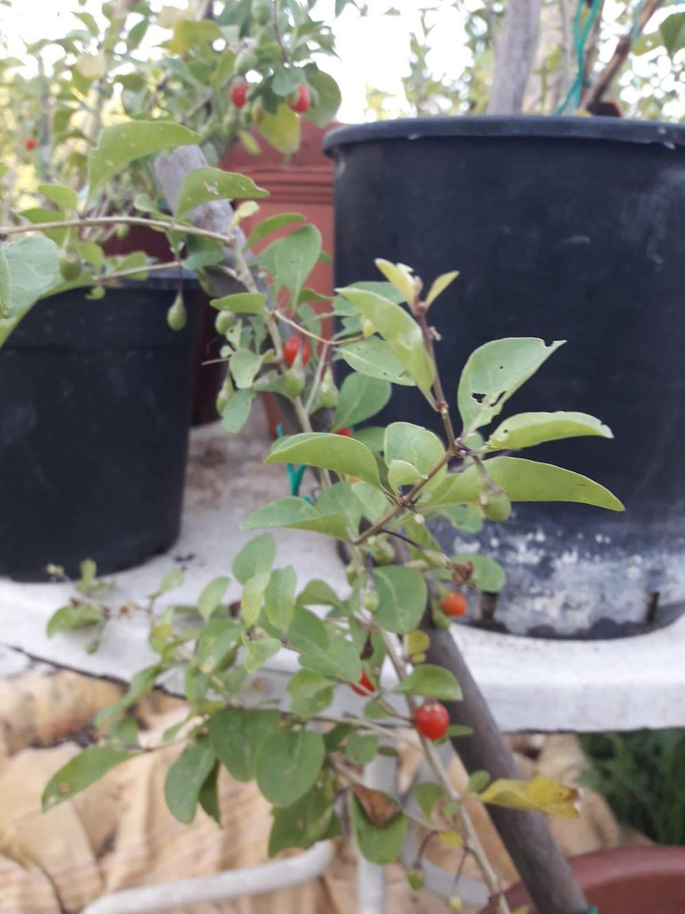 Pianta di Lycium chinense con frutti