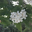 Thumbnail: Melo Fiorentino (Malus florentina (Zuccagni)Zucch.)C. K. Schneider